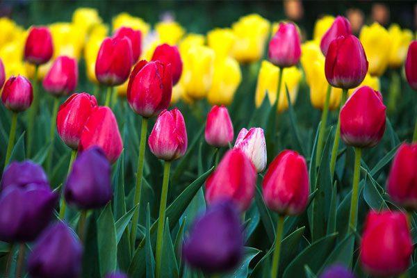 تکمیل رویشگاه اروپا در باغ گیاه شناسی ایران و برگزاری نمایشگاه گلهای لاله
